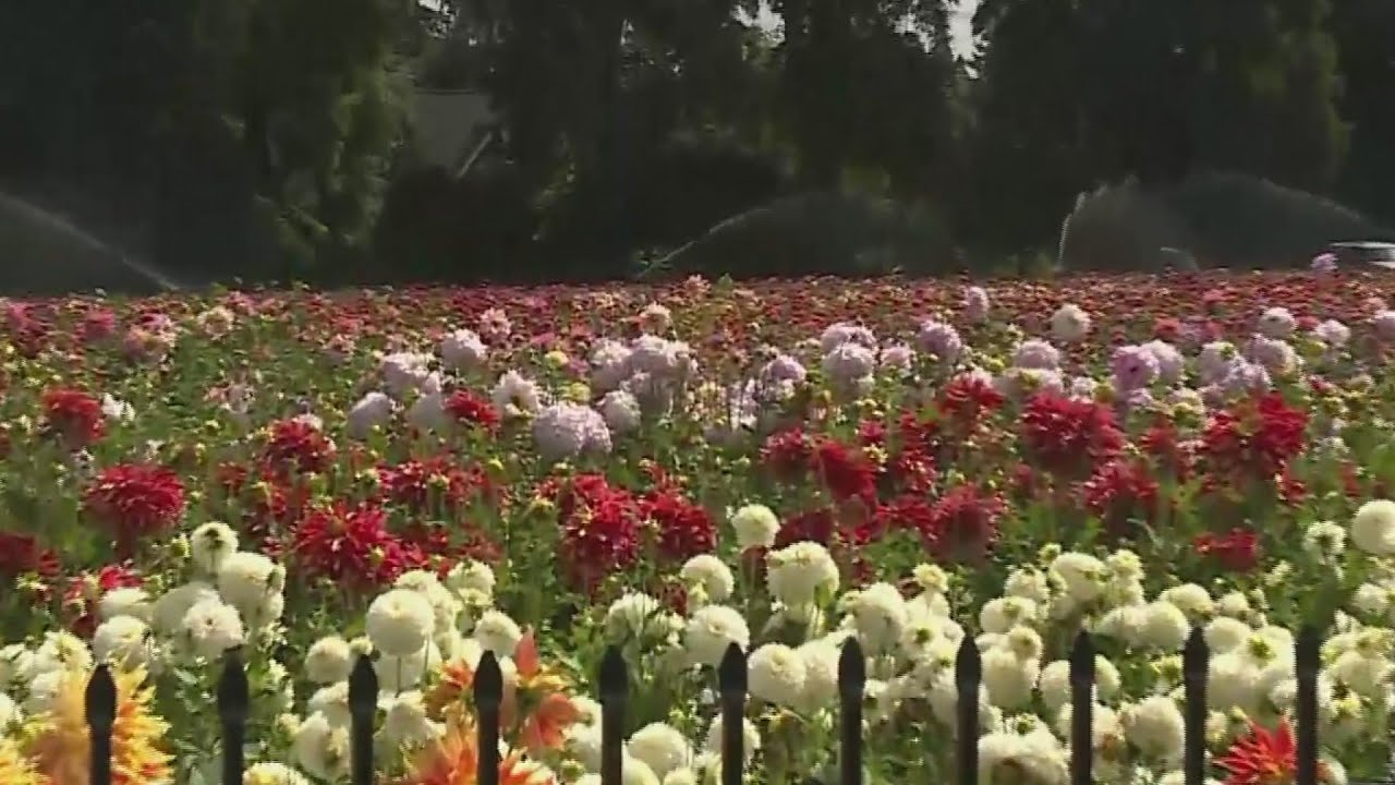 The Swan Island Dahlia Festival In Canby Underway Youtube