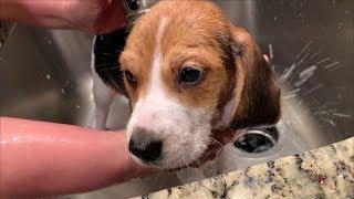 ArnieTheBeagle - Beagle Puppy's First Bath EVER!  - 8 Weeks Old!