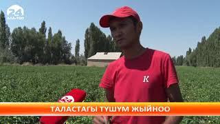 Талас: болгар калемпир айдап, киреше тапкан дыйкан
