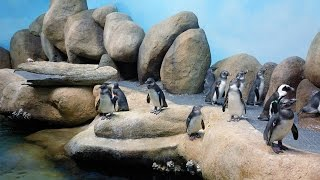 Live Penguin Cam (Colony View) | California Academy of Sciences