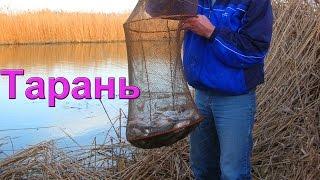 ТАРАНЬ. На канале. Рыбалка, ловля тарани, насадка- червь. Рыбалка. Ловля тарани на донку. Fishing(Тарань. Канал в районе Приморско-Ахтарска. В этот день удачно совпали: отличный клев и теплая погода. Вся..., 2016-04-16T15:54:51.000Z)