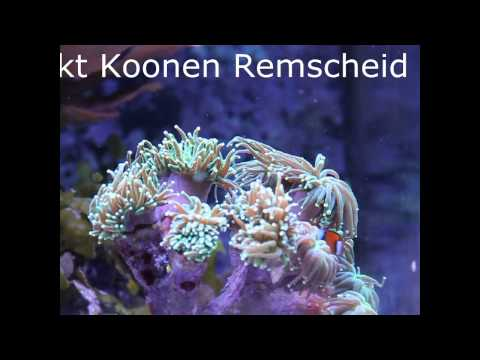 Amphiprion percula, Anemonenfische