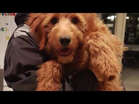 ATTACK OF THE GOLDENDOODLE !!
