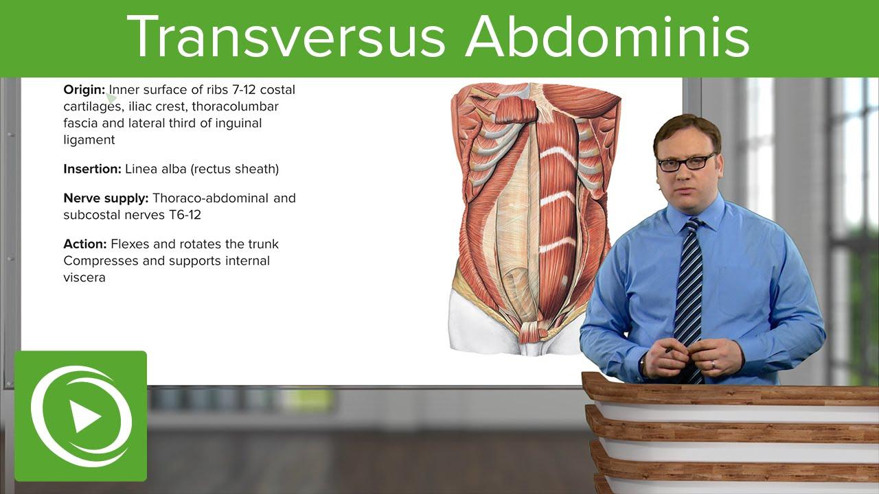 Transversus Abdominis – Anatomy | Lecturio