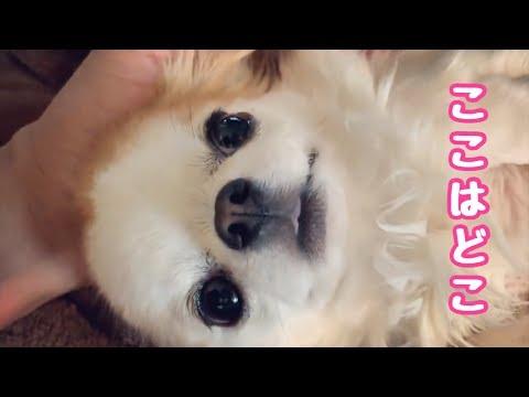 💖 一生懸命反省する子犬チワワのティーナ【かわいい犬】【ペット動画】【chihuahua】【cute dog】【子犬】