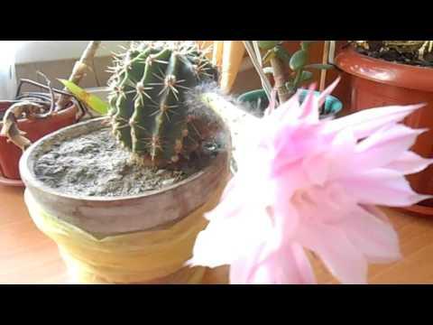 Кактус обыкновенный с цветком