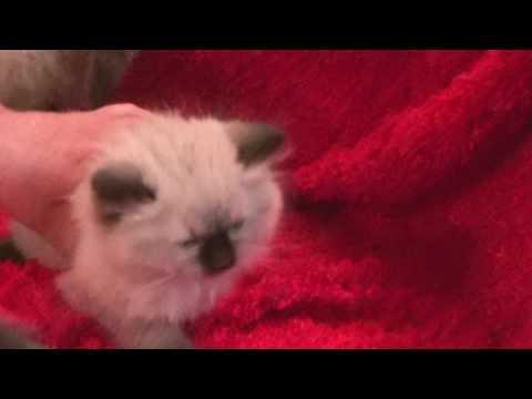 Blues, Seals, Bi-colors, Lynx  Ragdoll Kittens January 22, 2017 A Ragdoll To Love Cattery