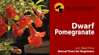 54) Fruiting & Flowering Dwarf Pomegranate are great Bonsai Trees for Beginners
