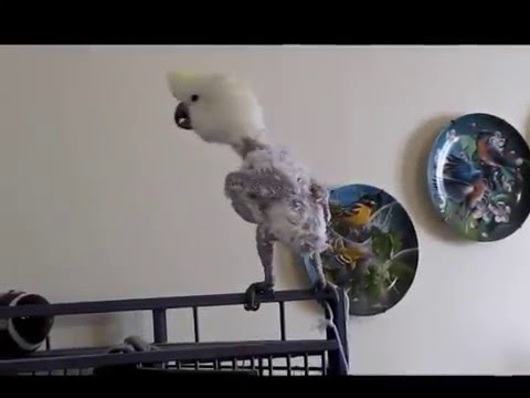 Fisher - Rescued Cockatoo Rocks Out To Can't Buy Me Love