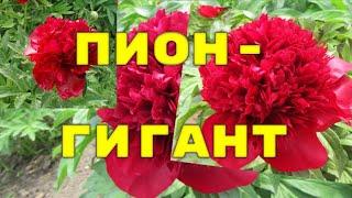 видео Купить травянистые пионы в Украине