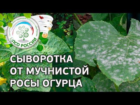 🥒 Огурцы - обработка сывороткой. Как бороться с болезнями огурцов народными средствами.