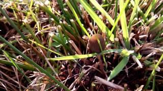Psilocybe Semilanceata Hunt 2013 video1