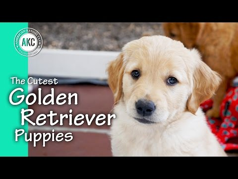 The Cutest Golden Retriever Puppies - YouTube