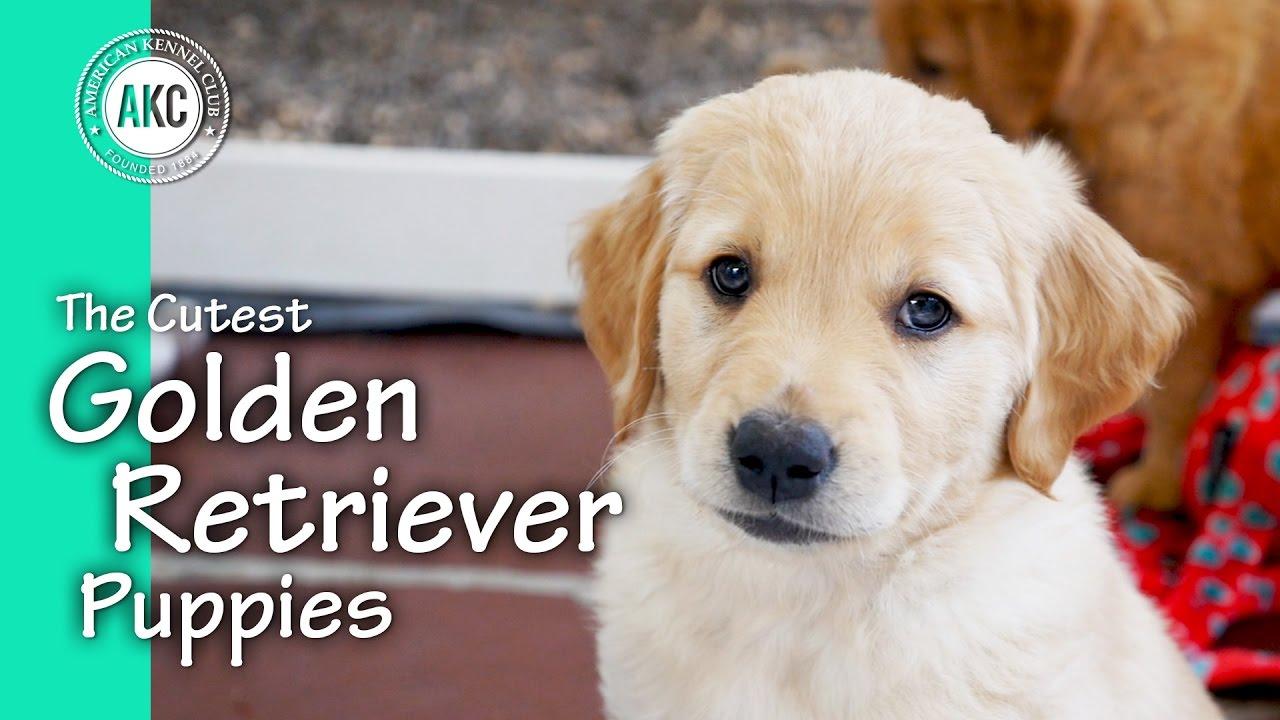 Cutest Golden Retriever Puppy Ever
