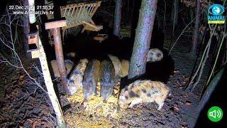 🐗 🔉 Dziki w karmisku dla dzikich zwierząt w lesie na Podkarpaciu