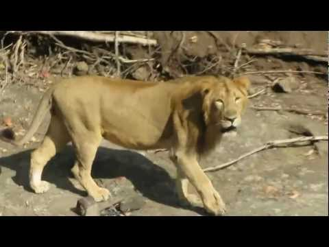 A Close Encounter with Male Asiatic Lion