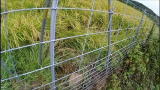 イノシシに掘り返されていた田んぼが、今度は踏み荒らされていました。...