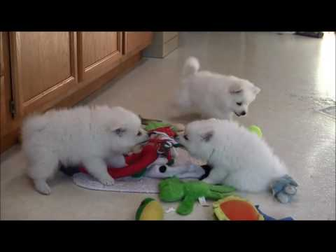 (SOLD & fixed) Morning routine with Zoe's 5 Eskie puppies!