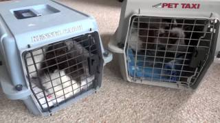 Travelling with Guinea Pigs