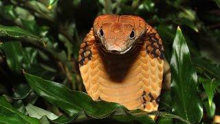 Самая большая ядовитая змея в мире королевская кобра