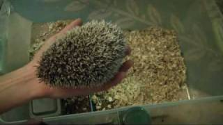 How To Handle & Tame A Mean / Aggressive / Scared Hedgehog