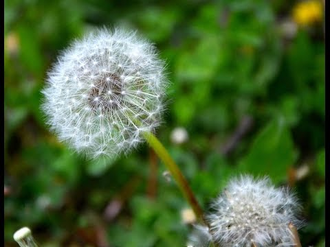 Dandelion - Taraxacum - perfect spring tonic
