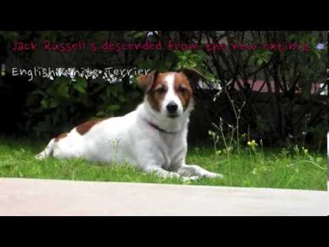 10 Jack Russell Terrier Facts