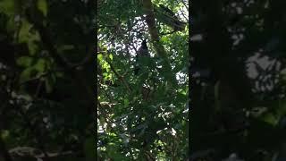 Konuşan Karga, Talking crow )