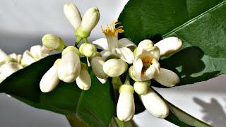 Домашний лимон зацветет стеной если ввести его осенью и зимой в состояние покоя! Лимон домашний уход