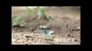 スミスハキリバチ ( Megachile humilis Smith )