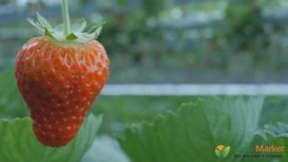 Agro-Market.net | Саженцы клубники | Покупайте выгодно(Покупайте удобно и быстро в онлайн супермаркете Agro-Market.net. Все для сада, огорода и дома. Более 15 000 товаров..., 2017-03-04T13:45:55.000Z)