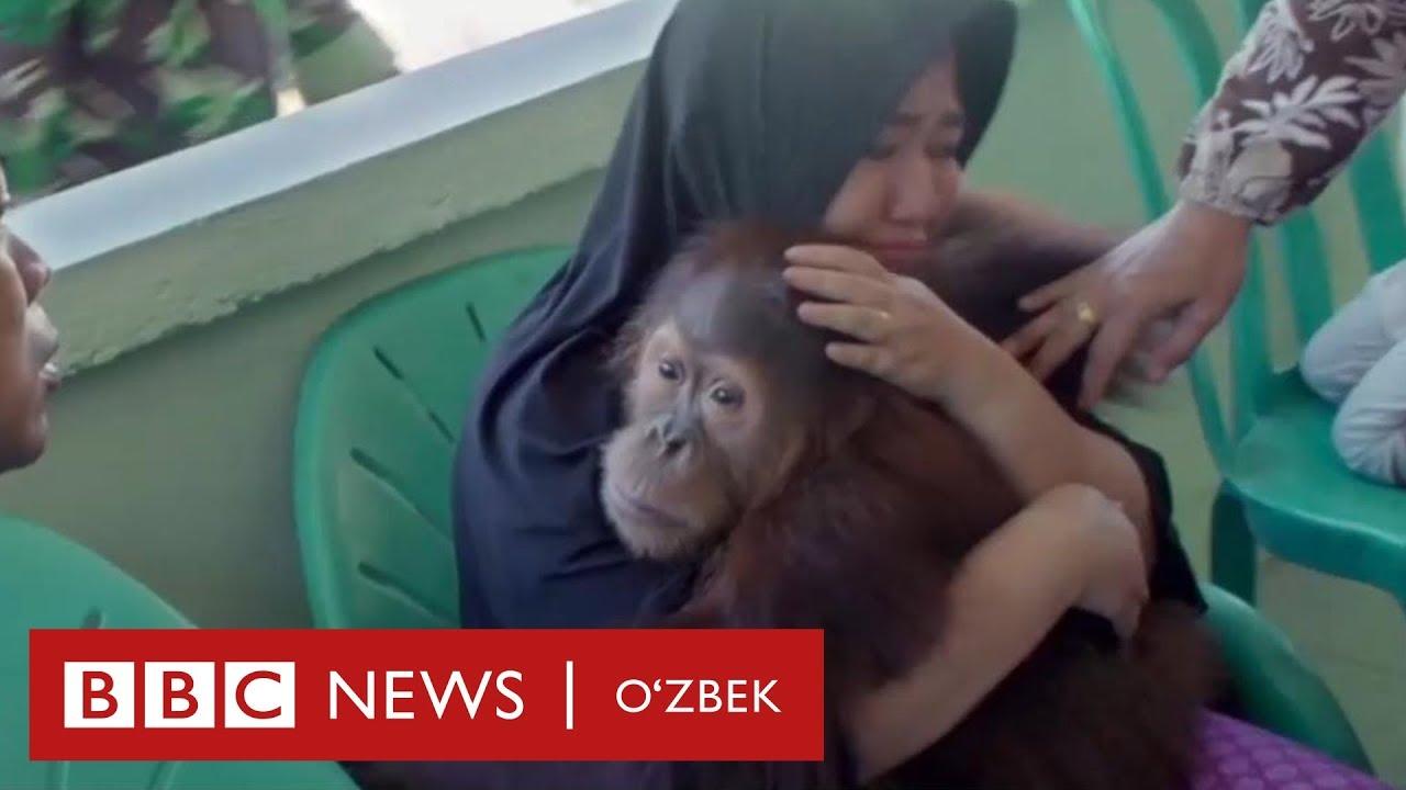 Инсон онадан орангутан болалар нега тортиб олинмоқда? - Дунё ва экология - BBC Uzbek MyTub.uz