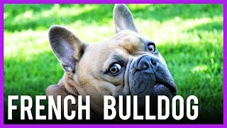 French Bulldog | Dog Breed Information (Frenchie)