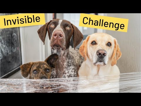 My Dogs reaction to the Invisible Wall Challenge | Labrador & German Shorthaired Pointer