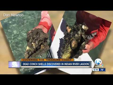 Dead conch shells discovered in Indian River County