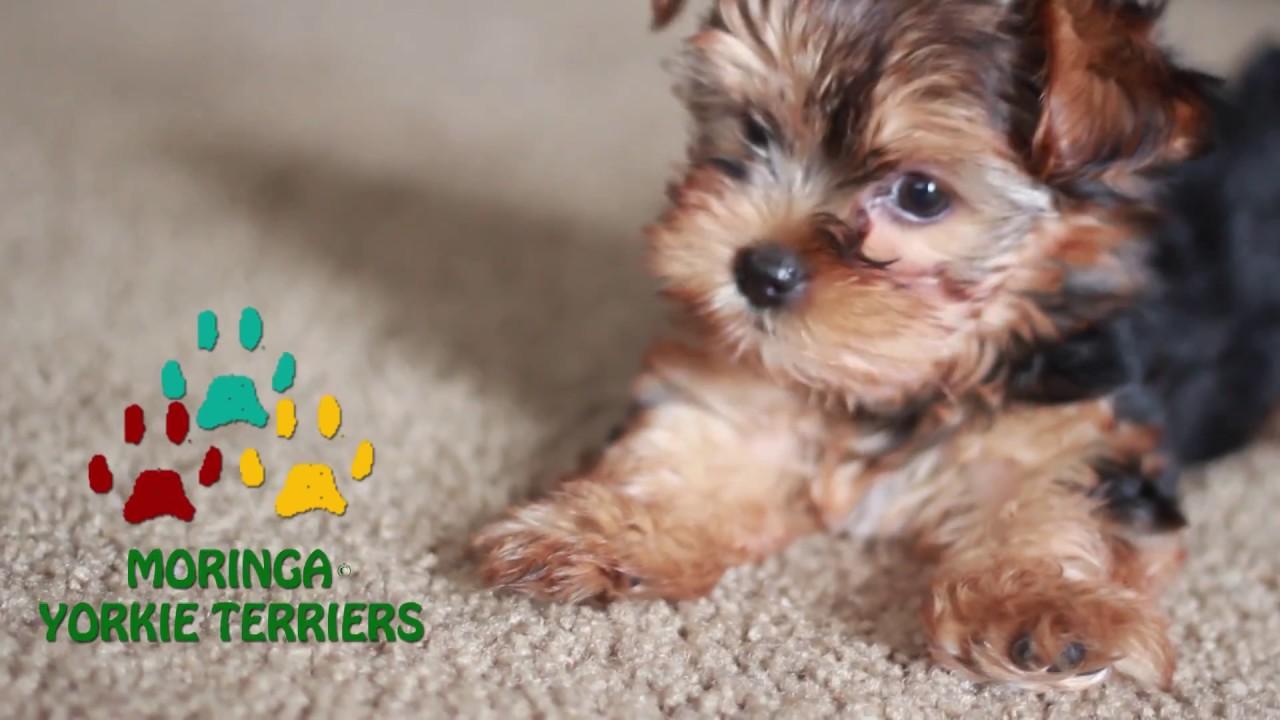 Sweet Teddy Bear Face Yorkie Puppy Youtube