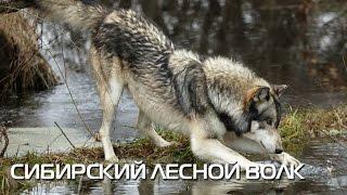 Сибирский лесной волк. Описание вида, фото