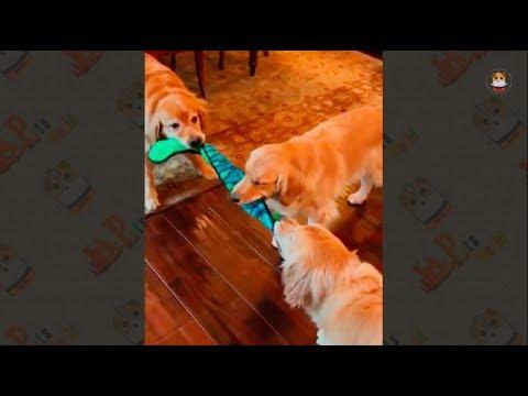 Funny Golden Retriever Videos 2017 # 47