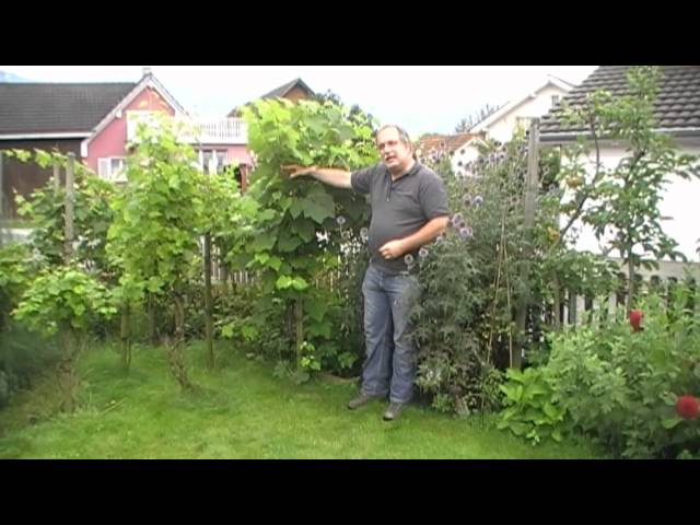 Lieblings Die einfachste Art Tafeltrauben zu pflanzen - YouTube &NH_58