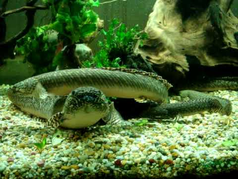 Polypterus bichir bichir 68cm doovi for Bichir fish for sale