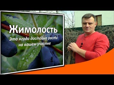 Жимолость: эта МАРСИАНСКАЯ ягода достойна расти на вашем участке!