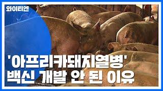 '아프리카돼지열병' 아직까지 백신 개발 안 된 이유 /…