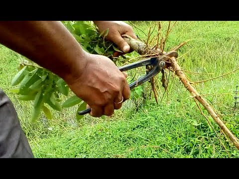 How to collect wild trees and capture the pot (Arjun tree)