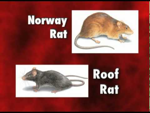 Diseases Carried by Rats and Mice - Orkin Pest Control ...