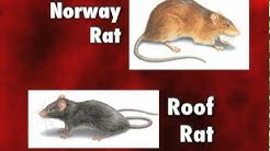 Diseases Carried by Rats and Mice - Orkin Pest Control