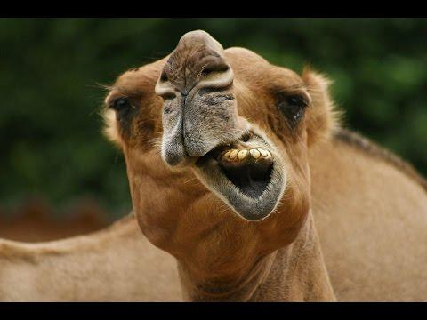 Верблюд плюётся, оказывается !