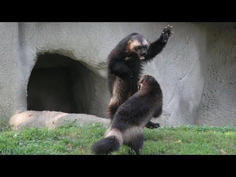 Северный братишка медоеда - РОСОМАХА В ДЕЛЕ! Росомаха против собак, волков, пумы и даже медведя!