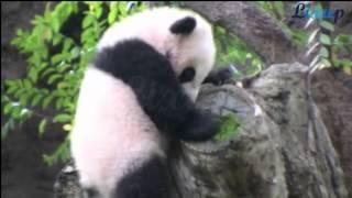 Baby Panda | Cute Actions, Panda del bebé lindo de acciones
