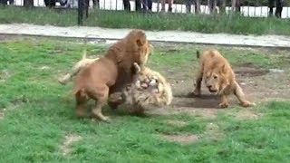 Battle of lions. People Touch the Lioness. Video with the Children of the Lion