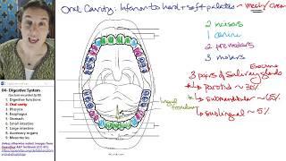 Digestive system 2- Oral cavity
